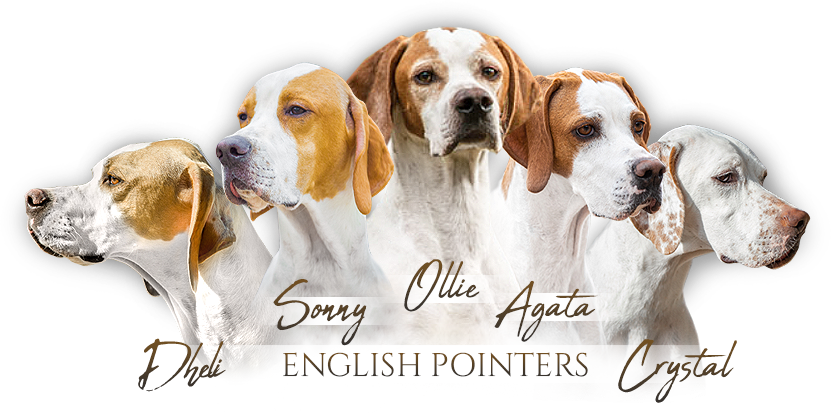 English Pointer  Natyave Grove